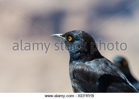 Pale-winged Starling (Onychognathus nabouroup), Fish River Canyon, Namibie Banque D'Images