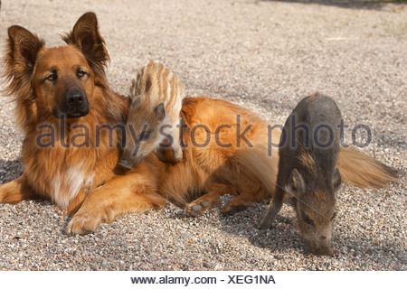 Le sanglier, le porc, le sanglier (Sus scrofa), les porcelets de grimper sur un chien, Allemagne