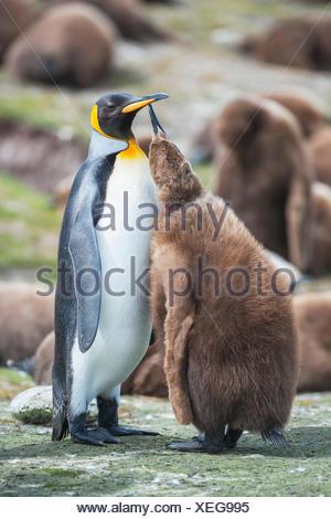 Un adulte manchot royal (Aptenodytes patagonicus) nourrir son poussin, East Falkland, îles Falkland, l'atlantique sud
