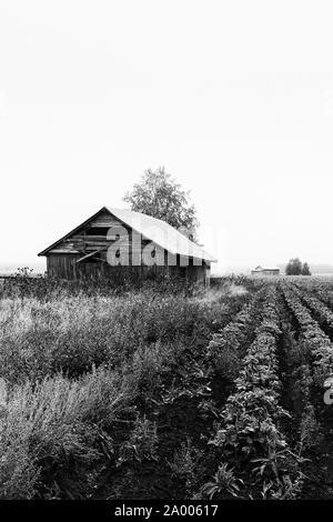 Il vecchio fienile case sono coperti dalla nebbia presso i campi del mondo rurale della Finlandia. L'autunno mattina può essere abbastanza misty in questo periodo dell'anno. Foto Stock