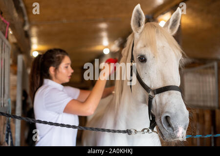 Caregiver femmina spazzolando la schiena del bianco di razza giovani delle corse ippiche in stabile Foto Stock