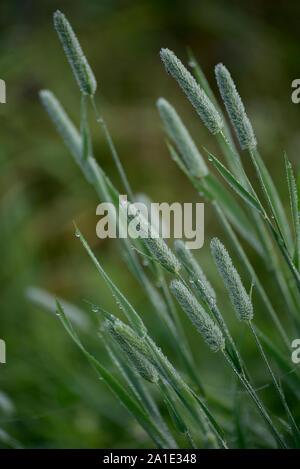 Primo piano di fleolo (binomiale nome: Phleum pratense), è una tipica specie del genere fleolo (Phleum) della famiglia delle graminacee. Foto Stock