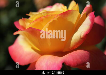 Bellissima Chicago pace rose, Gioia, un ibrido rosa tea in crescita in un giardino. Foto Stock