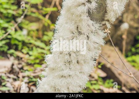 Foglia Flatid bug phromnia rosea su un albero di diramazione in una foresta. Foto Stock