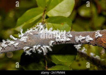 Di piccole dimensioni e di colore bianco planthopper Flatid nymph ,specie dalla famiglia Flatidae, nella foresta pluviale su Nosy Mangabe. Madagascar la fauna selvatica e la natura selvaggia Foto Stock