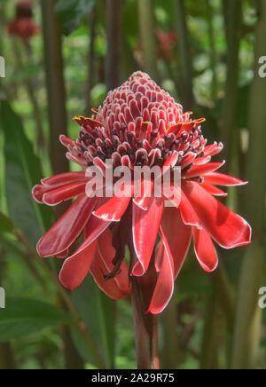 Bella rossa torcia zenzero (Etlingera elatior) fiore, Parco Nazionale Podocarpus, Zamora, Ecuador