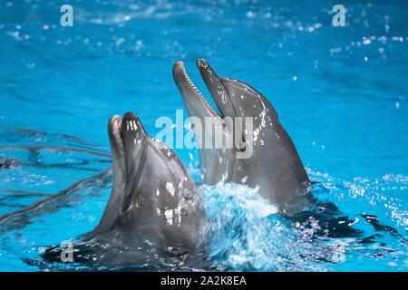 Giocoso delfino comune nell'oceanarium. I delfini sorridente in un delfinario indoor.