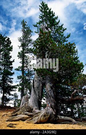 Grandi weathered nodose tronchi di albero alberi sempreverdi, contrasto, vivo, morto, la natura, il Parco Nazionale di Yellowstone; Wyoming; WY; estate; verticale Foto Stock