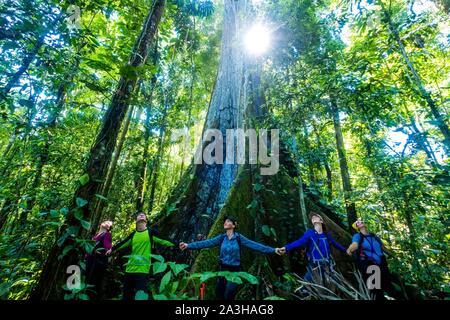 Ecuador, Tena, immersione esperienza di vita con la Waoranis del Rio Nushino, gigante cotone-tree, capoc, ceibo o Ceiba pentandra, fraterno cerchio intorno al suo tronco