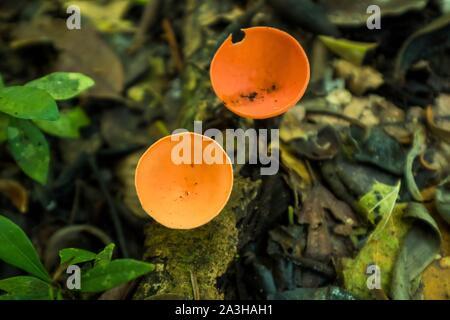 Ecuador, Tena, immersione esperienza di vita con la Waoranis del Rio Nushino, antisettico funghi