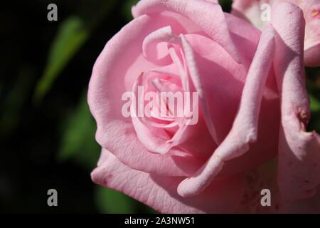 Perfetta estate rosa bocciolo di rosa in piena fioritura Foto Stock