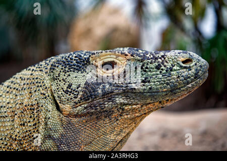 Drago di Komodo - Varanus komodoensis