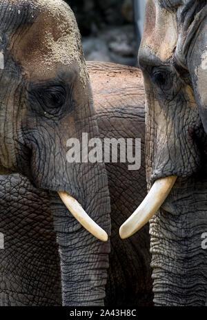Gli elefanti africani con teste vicino insieme