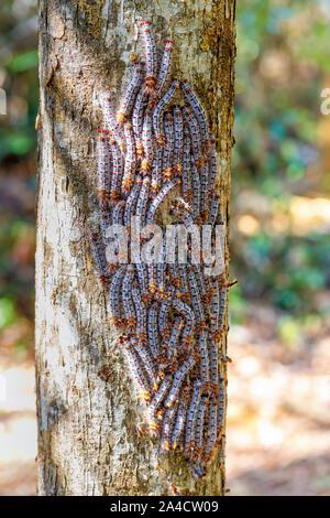 Bello, ma pericolosa laccio bruchi in posizione difensiva su un tronco di albero, Ankarafantsika Parco nazionale del Madagascar la fauna selvatica e la wildernes Foto Stock