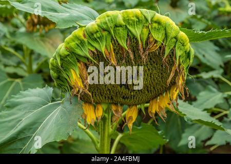 Un unico grande finito di semi di girasole testa cada in un campo di fattoria in autunno