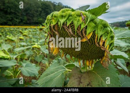 Un unico grande girasole capo closeup fioritura finito con campo di semi di girasole e di alberi in background in autunno