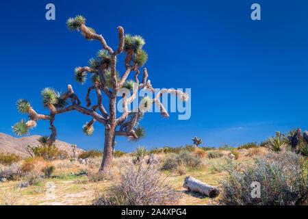Joshua tree contro un cielo blu chiaro Foto Stock