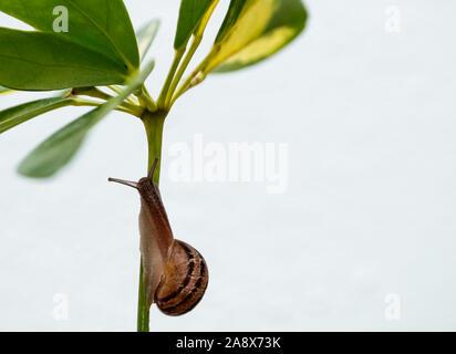 Giardino in comune va a passo di lumaca strisciando sul gambo verde della pianta Foto Stock
