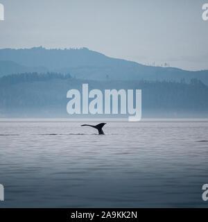 Canada, British Columbia. Humpback Whale tail in Victoria
