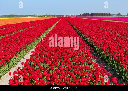 Fioritura campi di tulipani in una giornata di sole in Olanda con principalmente rosso, arancione e rosa tulipani. Foto Stock