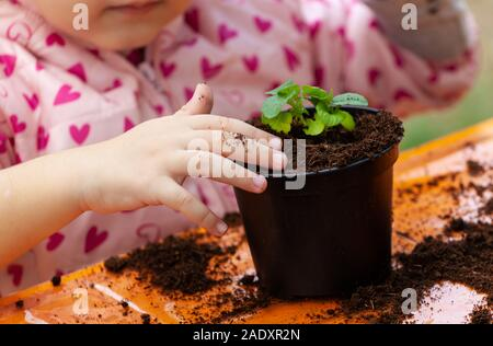 Vista ingrandita del bambino toddler semina della barbabietola da giovani pianta in un terreno fertile. Nelle scuole, bambini pratica didattica seminari di botanica. Foto Stock