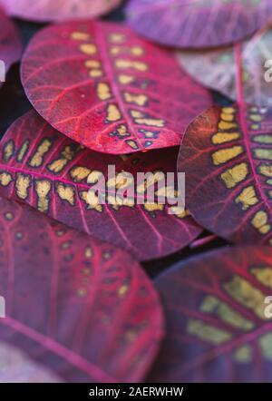Primo piano di foglie colorate di smokebush sul terreno in autunno.