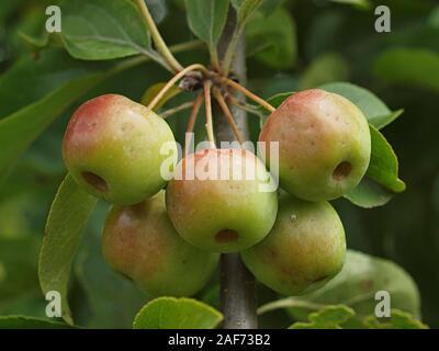 Macro di granchio le mele su un albero di mele