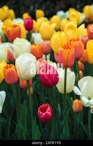 Bianco, rosso, arancione e tulipani gialli in un campo Foto Stock