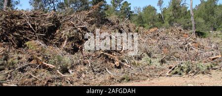 Pulizia dopo una tempesta in una foresta di pini Foto Stock