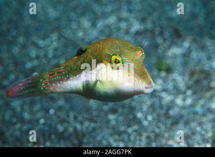 Bennets di Toby, Bennett's sharpnose puffer [Canthigaster bennetti]. Nord Sulawesi, Indonesia.