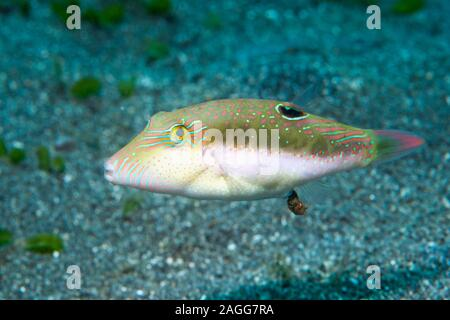 Bennets di Toby, Bennett's sharpnose puffer [Canthigaster bennetti] defecare. Nord Sulawesi, Indonesia.