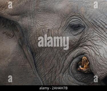 Ritratto di un elefante con gli occhi e il viso durante la masticazione un albero in Sud Africa
