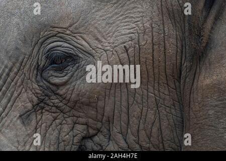 Ritratto di un elefante con gli occhi e il viso in Sud Africa
