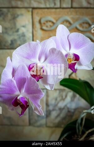 Fiori di orchidea (phalaenopsis) close up - viola di colore rosa Foto Stock