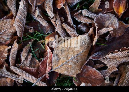 Molti frosty autunno leafs sul terreno Foto Stock