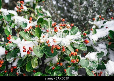 Bacche rosse sui cespugli verdi in inverno e coperto di neve. Concetto di inverno.primo piano immagine di bacche rosse sul ramo coperto di neve.