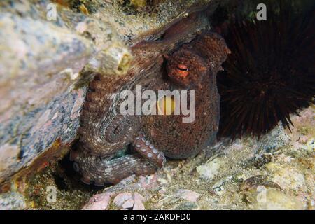 Close-up di un polipo sott'acqua nel mare Mediterraneo, Francia, Occitanie Foto Stock