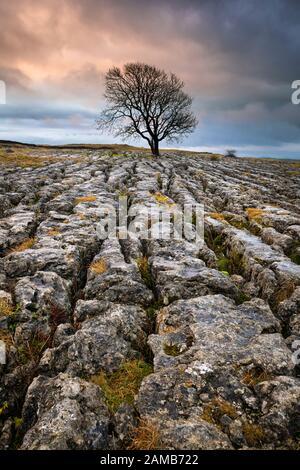 L'albero lone si trova all'interno del pavimento calcareo sopra Malham nel North Yorkshire Dales National Park, in una fredda alba invernale. Foto Stock