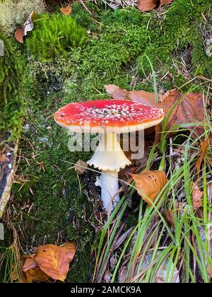 Cloe-up di Amanita muscaria in foresta comunemente noto come il mosca agarico o fly amanita, è un basidiomycete del genere Amanita