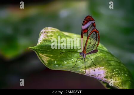 Bella Glasswing Butterfly (Greta oto) su una foglia con gocce di pioggia in un giardino estivo. In amazone rainforest in Sud America. Foto Stock