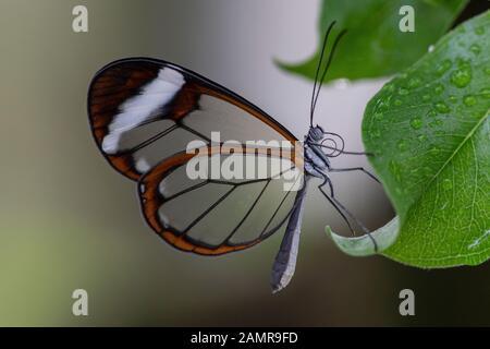 Bella Glasswing Butterfly (Greta oto) su una foglia con gocce di pioggia in un giardino estivo. In amazone rainforest in Sud America. Presious Tropical b Foto Stock