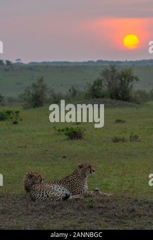 Un gruppo di Cheetahs che si rilassano nelle pianure e nel grooming L'uno all'altro all'interno della Riserva Nazionale Masai Mara durante una fauna selvatica safari