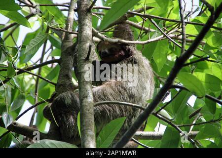 Accidia nella struttura ad albero in Costa Rica Foto Stock