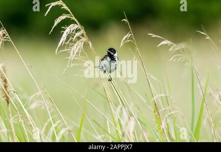 Coniglietto di canna maschio (nome scientifico: Emberiza schoeniclus) arroccato su un fusto di erba in habitat naturale del letto di canna. Rivolto in avanti. Orizzontale. Spazio di copia Foto Stock