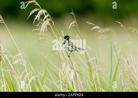 Coniglietto di canna maschio (nome scientifico: Emberiza schoeniclus) arroccato su un fusto di erba in habitat naturale del letto di canna. Rivolto a destra. Orizzontale. Spazio per la copia Foto Stock