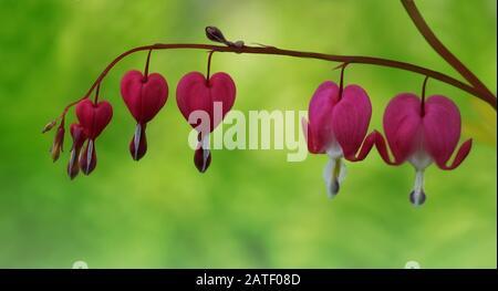 Primo piano di cuori sanguinanti fiori mano in mano su un morbido sfondo verde Foto Stock
