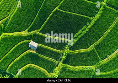 Terrazze di riso sideman; Karang ASEM, Bali, Indonesia Foto Stock