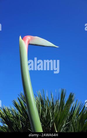 Strelitzia regiane (fiore di gru o uccello del Paradiso) ckose-up in Sardegna Foto Stock