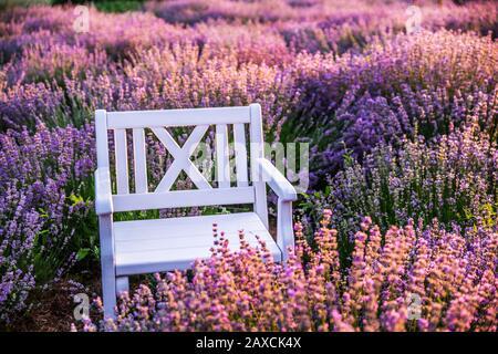 Sedia vuota di legno bianco tra arbusti di lavanda fioriti alla luce dell'alba.
