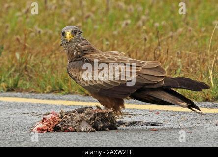 Giallo-fatturato Kite (Milvus parassita) adulto che alimenta sulla strada uccidere nella pioggia Western Cape, Sud Africa novembre